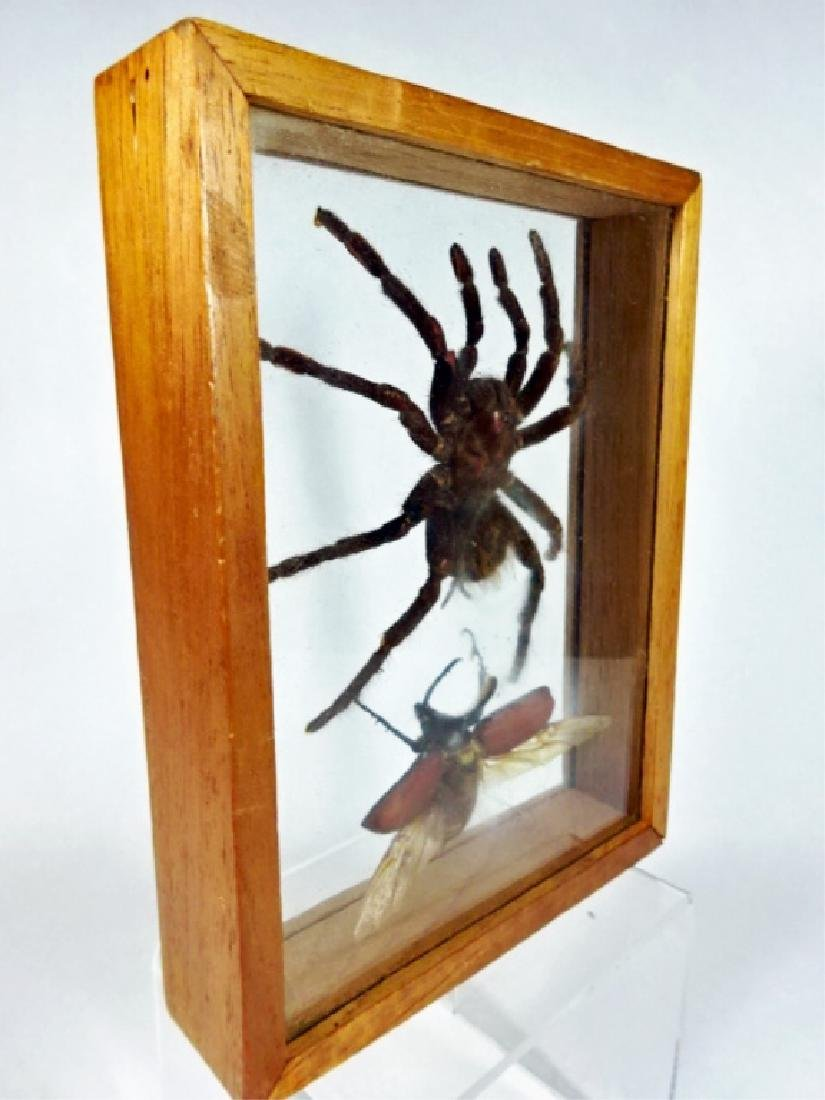 LARGE TAXIDERMY TARANTULA SPIDER AND BEETLE, FRAMED IN - 2