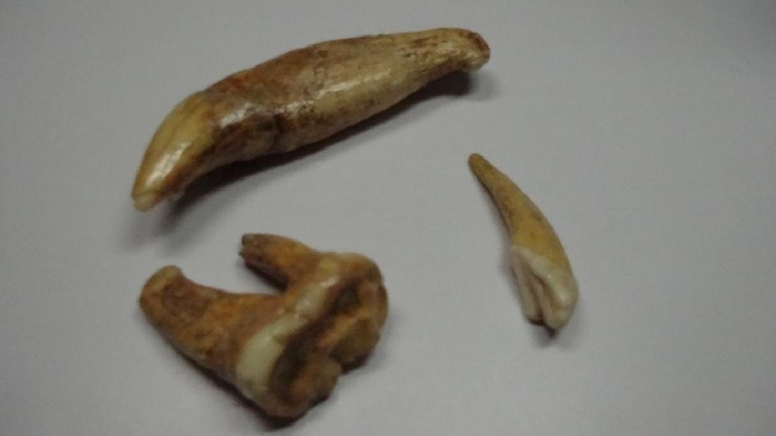 "3 PC FOSSIL CAVE BEAR TEETH, LARGEST APPROX 3.5""L - 2"