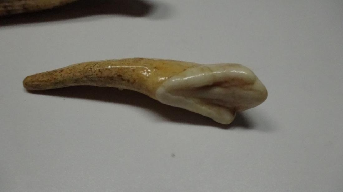 "3 PC FOSSIL CAVE BEAR TEETH, LARGEST APPROX 3.5""L - 4"