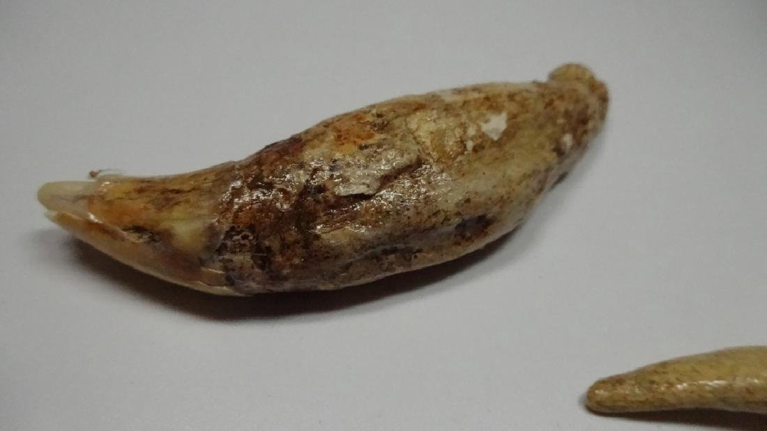 "3 PC FOSSIL CAVE BEAR TEETH, LARGEST APPROX 3.5""L - 5"