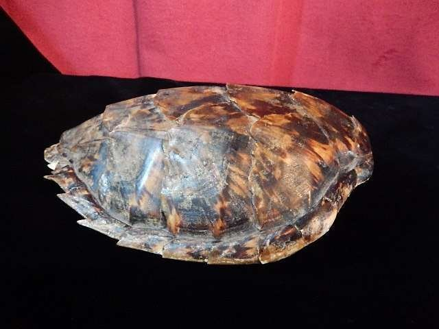 """TURTLE SHELL, APPROX 8.25""""L"""