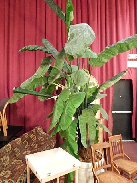 HUGE BANANA TREE PLANT IN POT, NATURAL PRESERVED WOOD B
