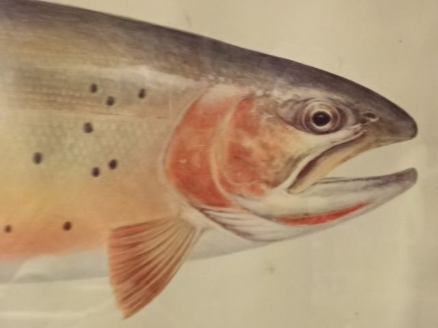 """VINTAGE CUTTHROAT TROUT PRINT, FRAMED SIZE 12.5""""H X - 2"""