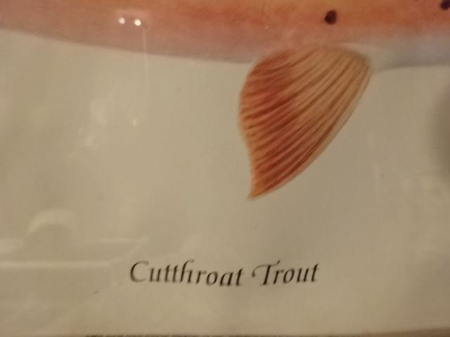 """VINTAGE CUTTHROAT TROUT PRINT, FRAMED SIZE 12.5""""H X - 3"""