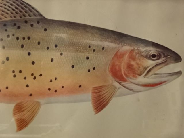 """VINTAGE CUTTHROAT TROUT PRINT, FRAMED SIZE 12.5""""H X - 4"""