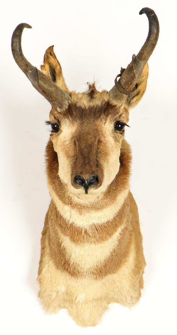 Antelope Taxidermy Head