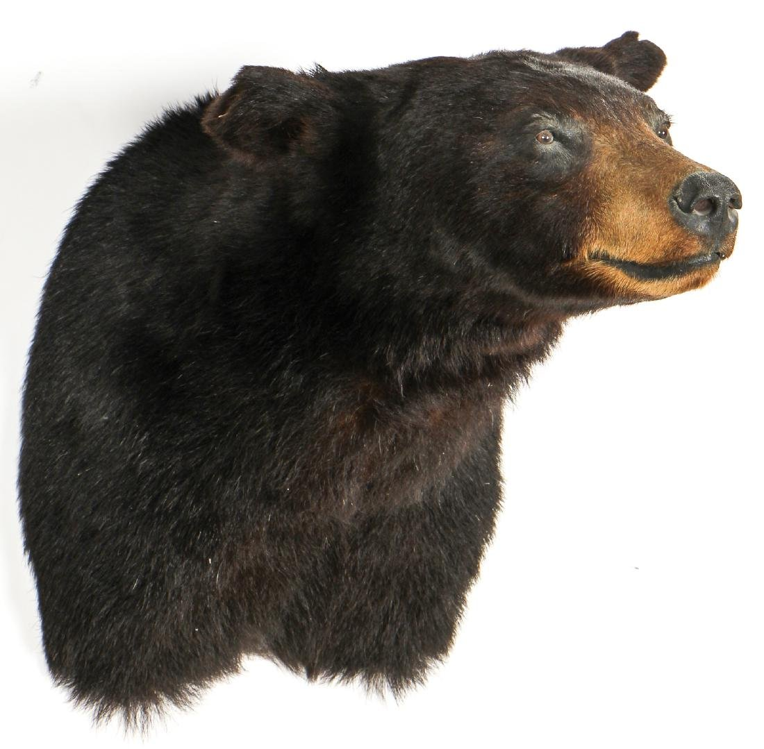 Black Bear Taxidermy Head Mount - 2