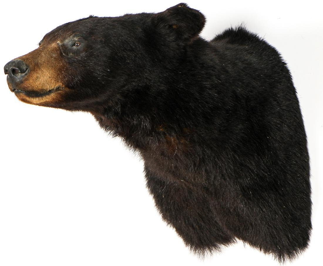 Black Bear Taxidermy Head Mount - 3