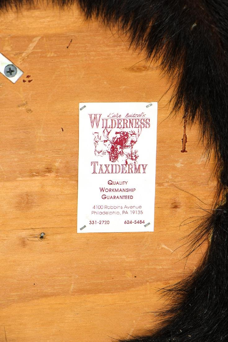 Black Bear Taxidermy Head Mount - 6