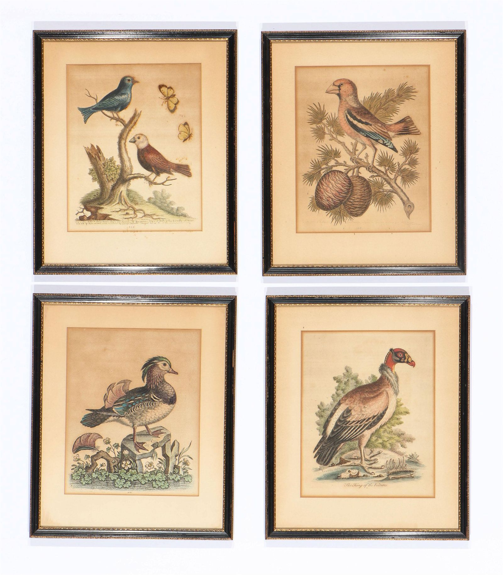 George Edwards (1694-1773) 4 hand-colored engravings