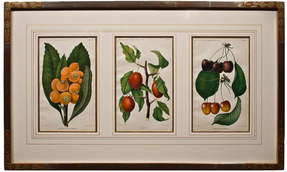 269: Loquat, Plums and Cherries