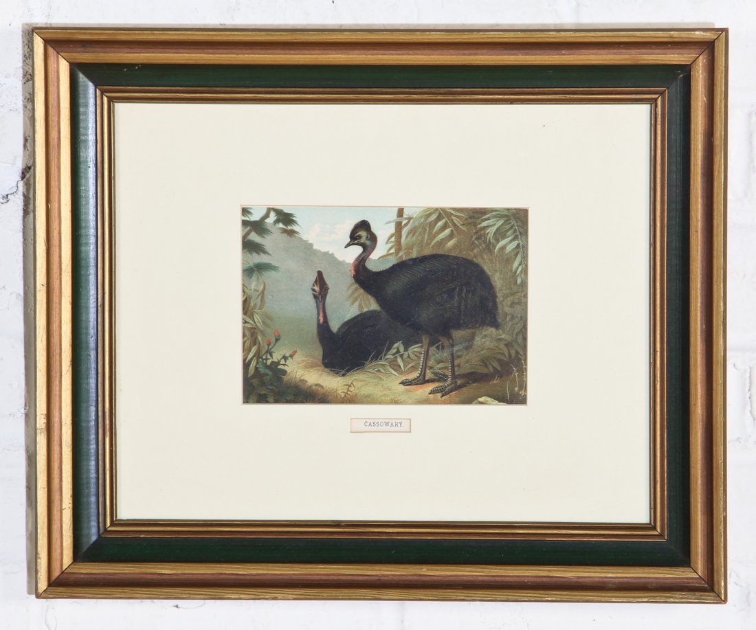 Cassowary Chromolithograph by L Prong