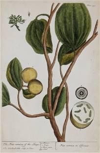 Elizabeth Blackwell Handcolored Botanical engraving