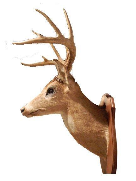 160: Ten Symmetrical Points Vintage White Tail Deer Sho