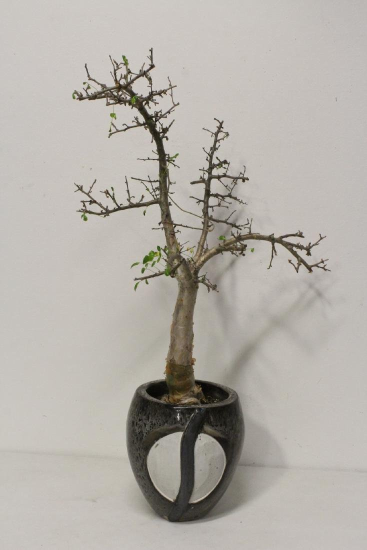 A bonsai with vintage pottery planter