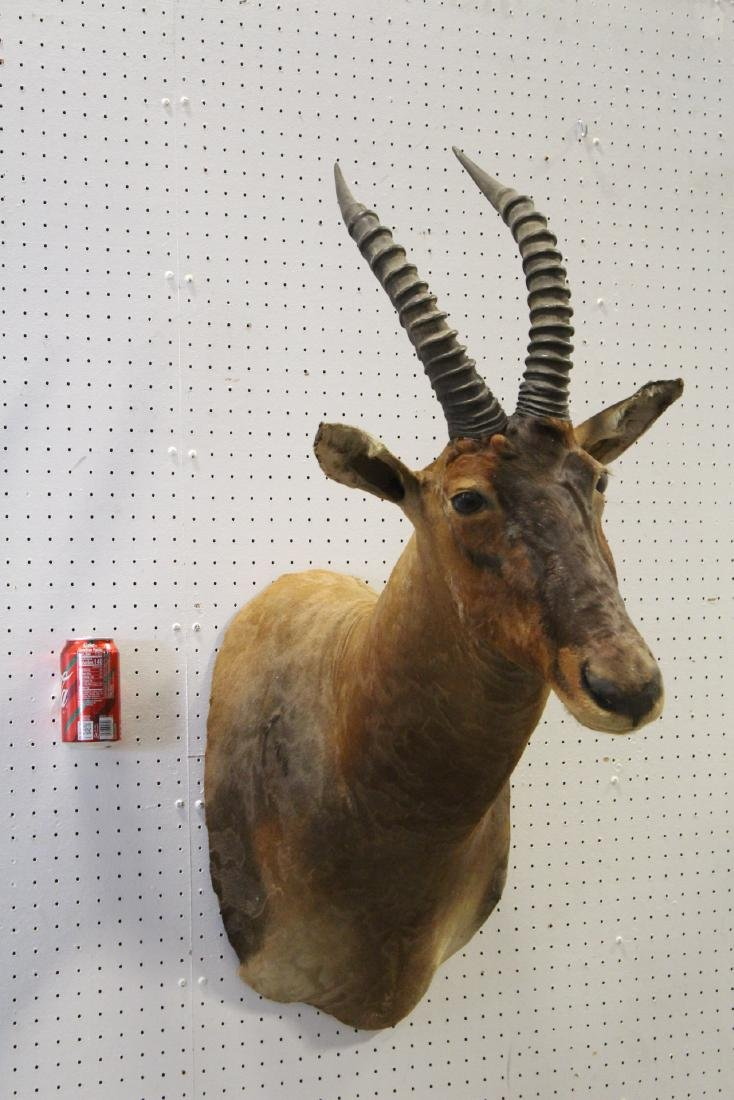 African sheep taxidermy, shoulder mount - 10