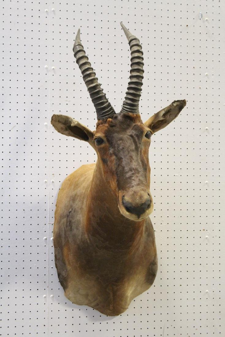 African sheep taxidermy, shoulder mount