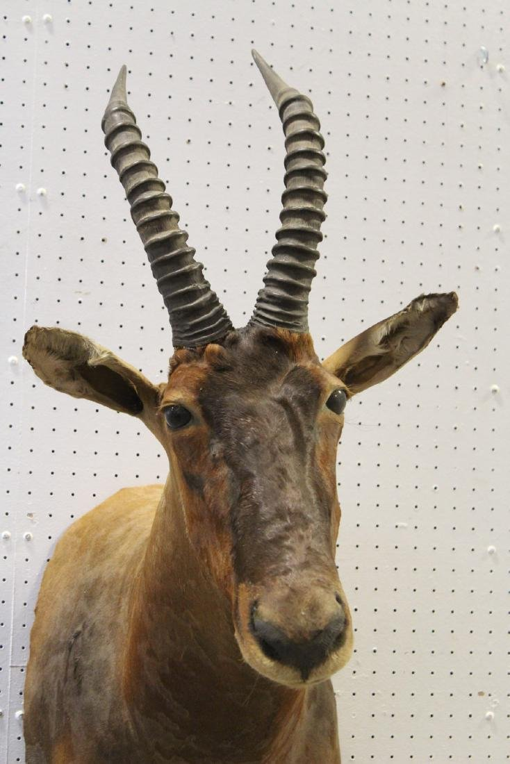 African sheep taxidermy, shoulder mount - 2