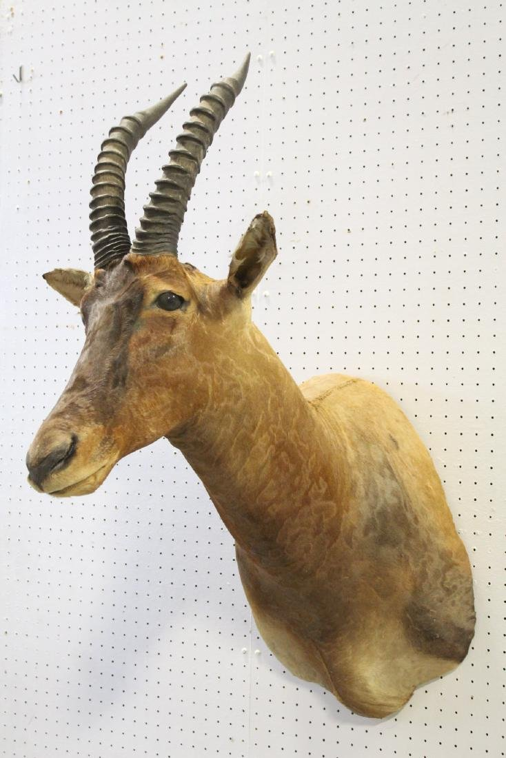 African sheep taxidermy, shoulder mount - 3