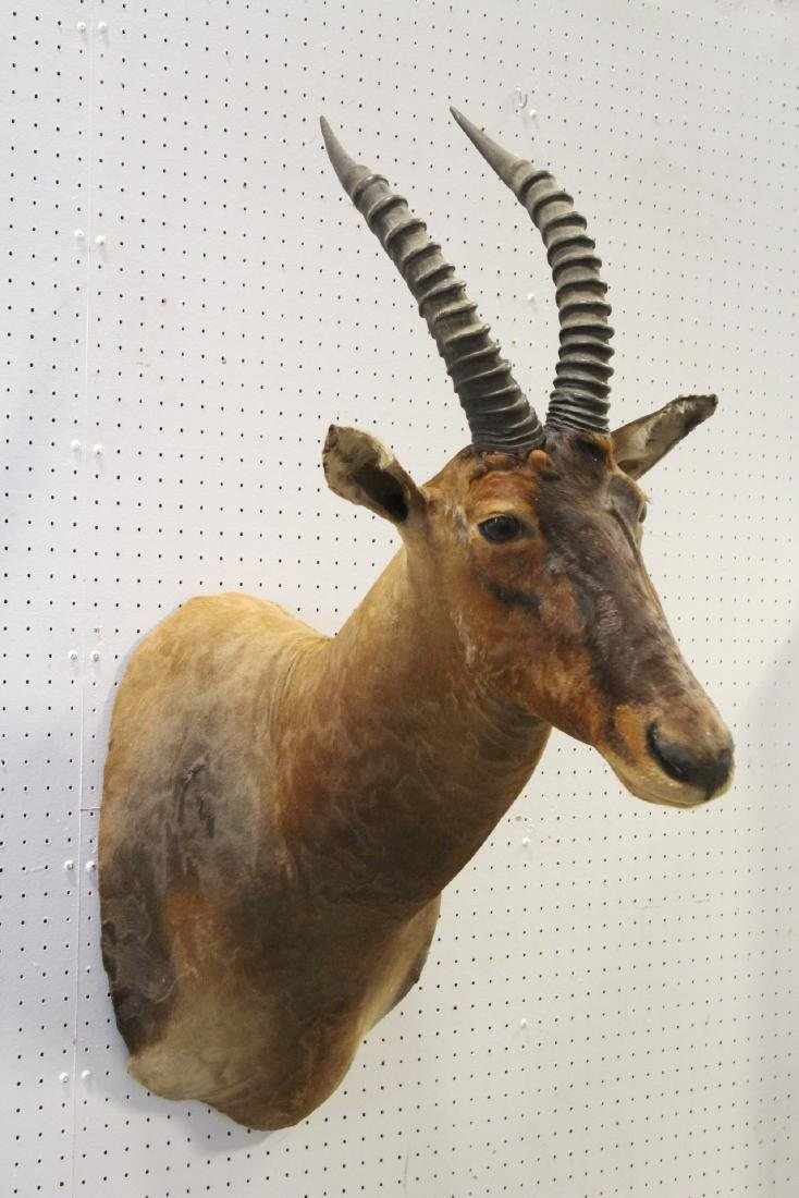 African sheep taxidermy, shoulder mount - 6