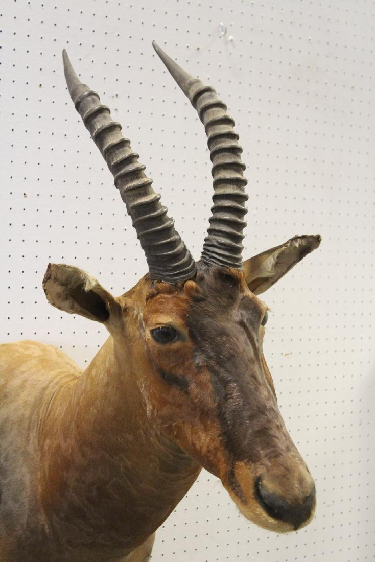 African sheep taxidermy, shoulder mount - 7