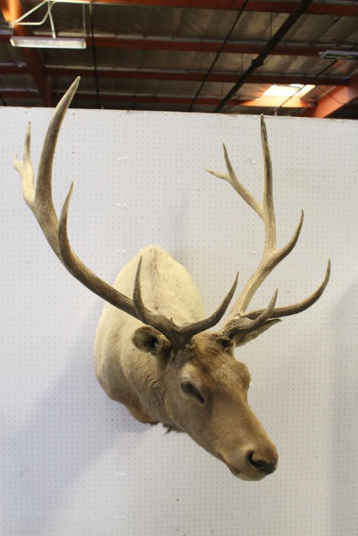 massive Canadian moose taxidermy, shoulder mount - 10