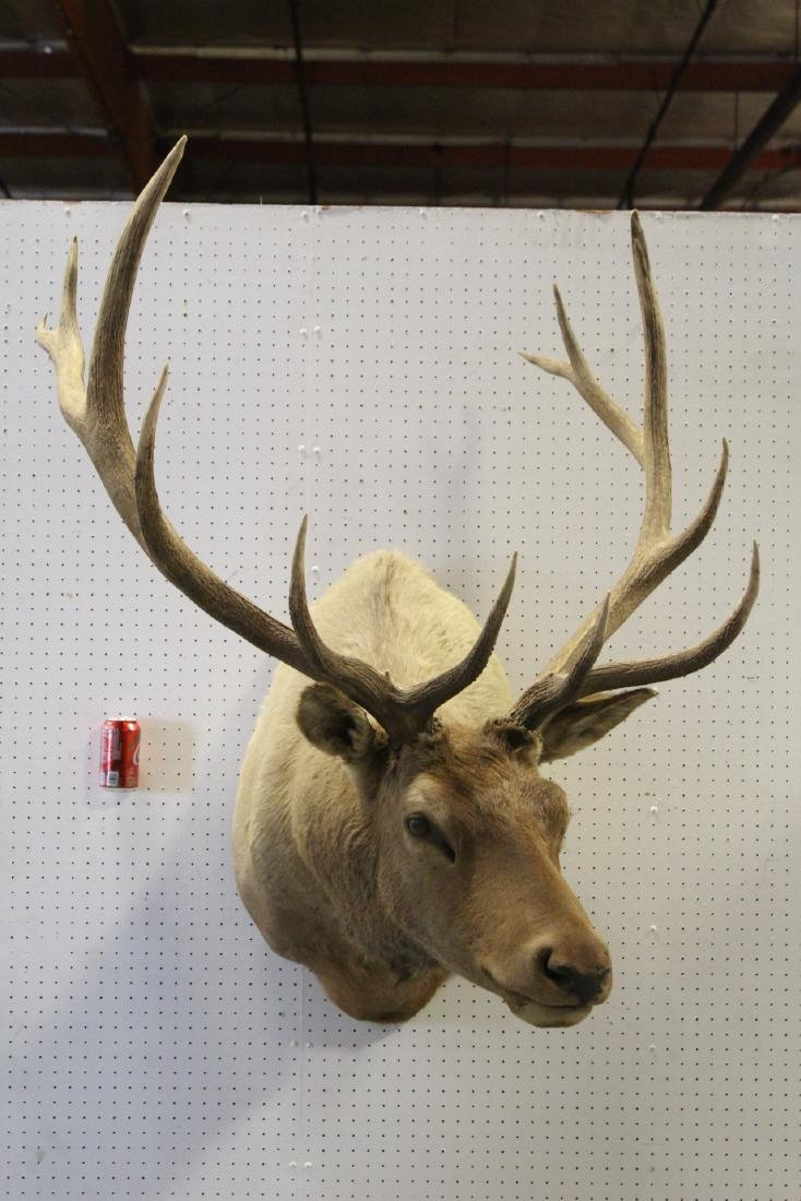 massive Canadian moose taxidermy, shoulder mount