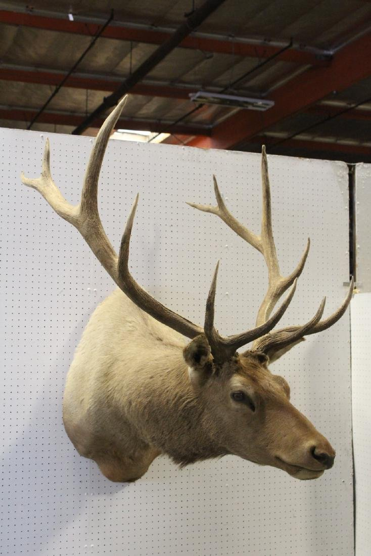 massive Canadian moose taxidermy, shoulder mount - 2