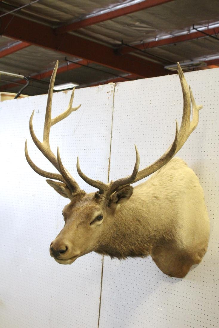 massive Canadian moose taxidermy, shoulder mount - 5