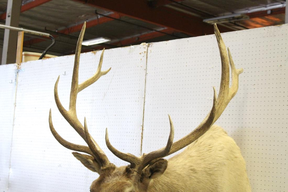 massive Canadian moose taxidermy, shoulder mount - 6