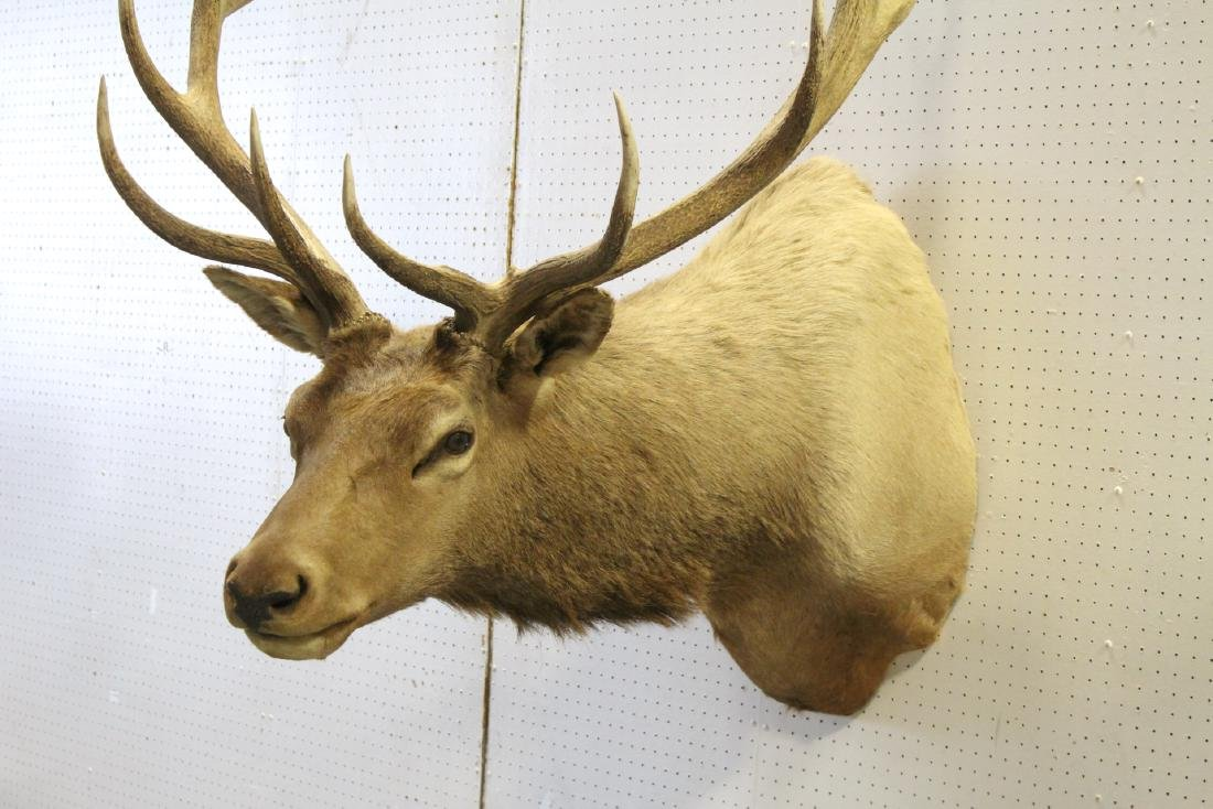 massive Canadian moose taxidermy, shoulder mount - 7