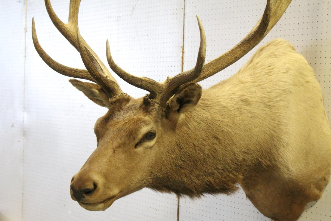 massive Canadian moose taxidermy, shoulder mount - 8
