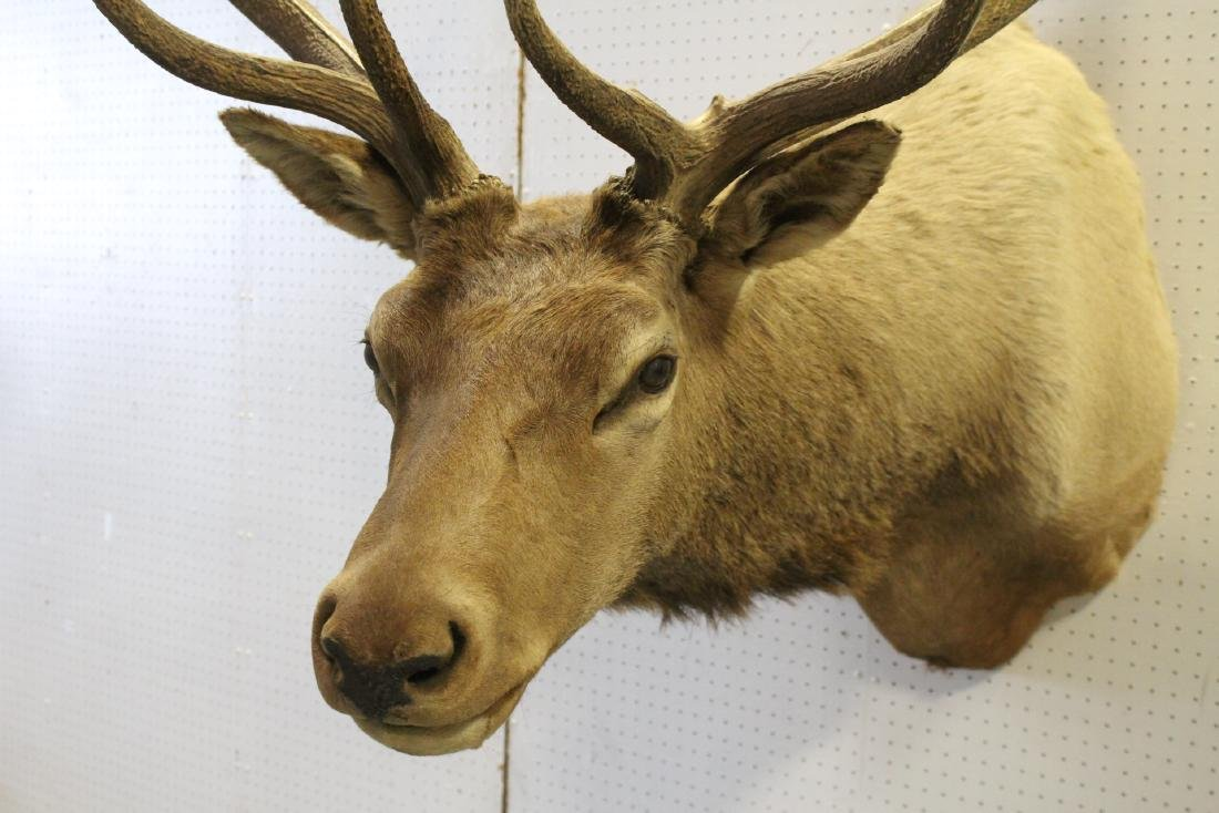 massive Canadian moose taxidermy, shoulder mount - 9