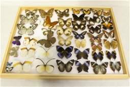 Showcase of butterfly taxidermy specimen