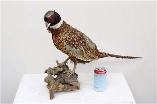 A taxidermy of pheasant