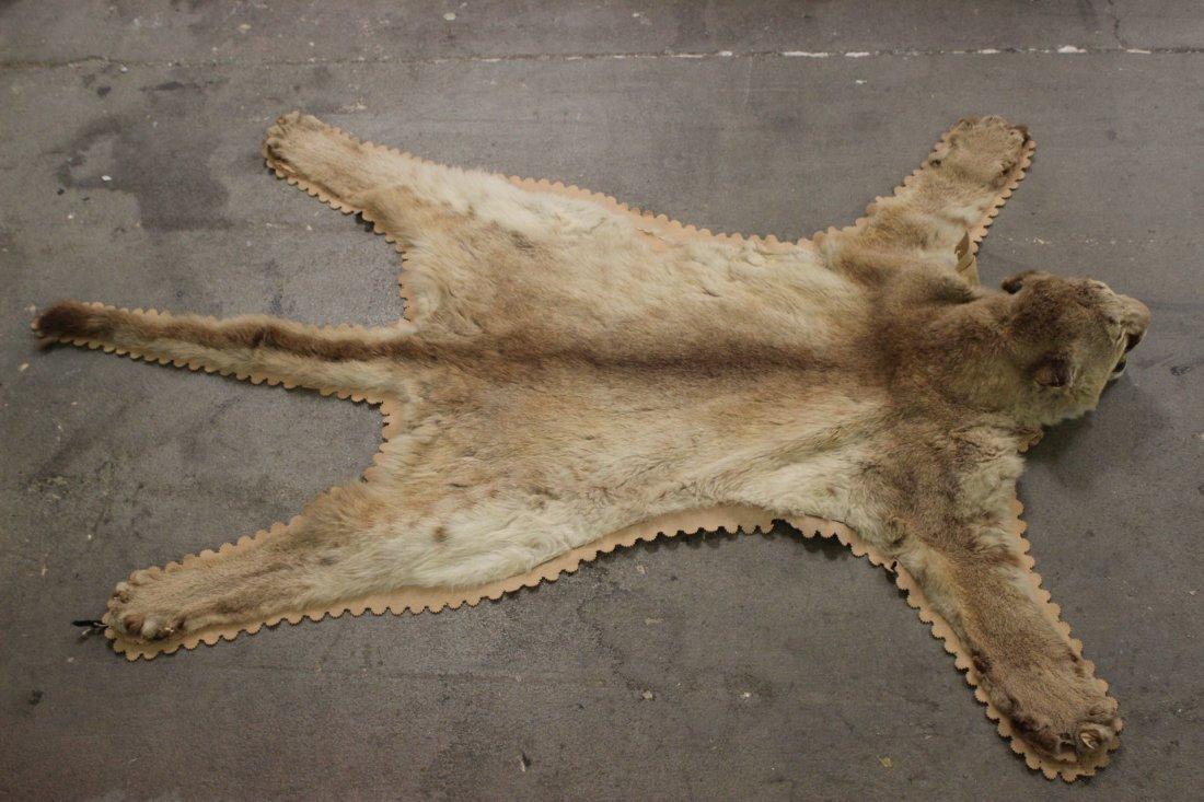 A mountain lion skin
