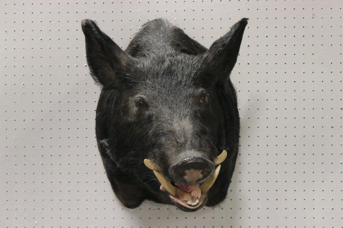 A large mounted boar head