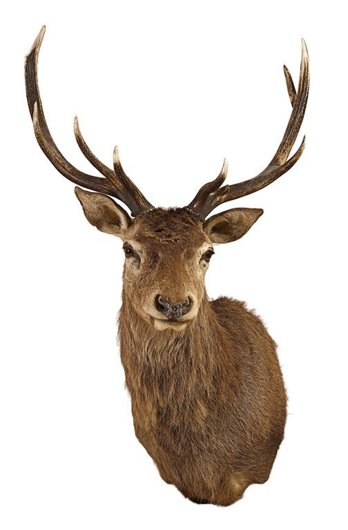 3: A taxidermied wall mounted stag head 140cm high, 80c