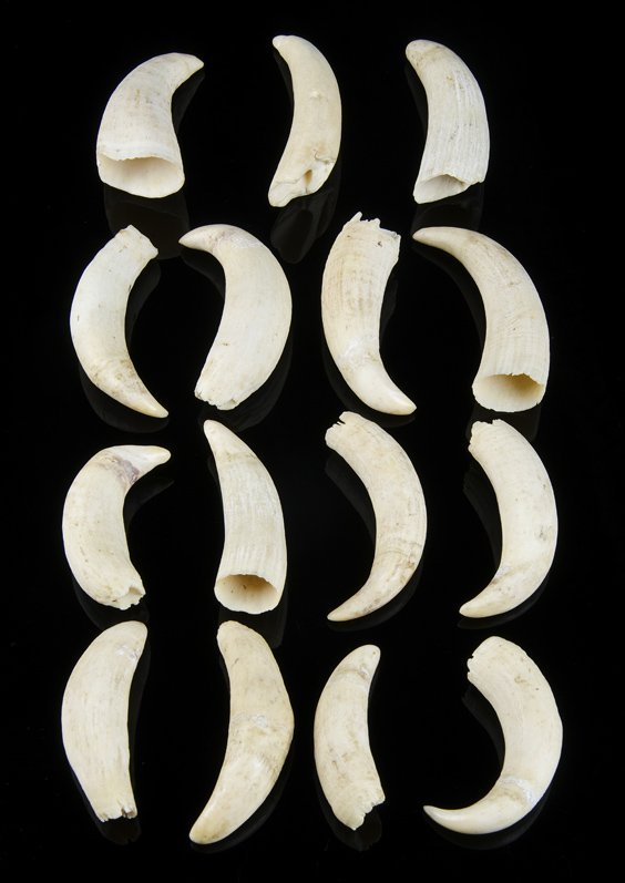 A collection of 15 various whales teeth, 19th century