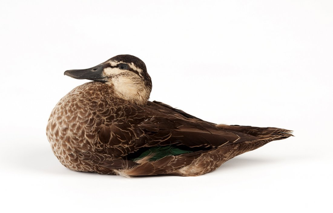 A taxidermied duck; 32cm wide.