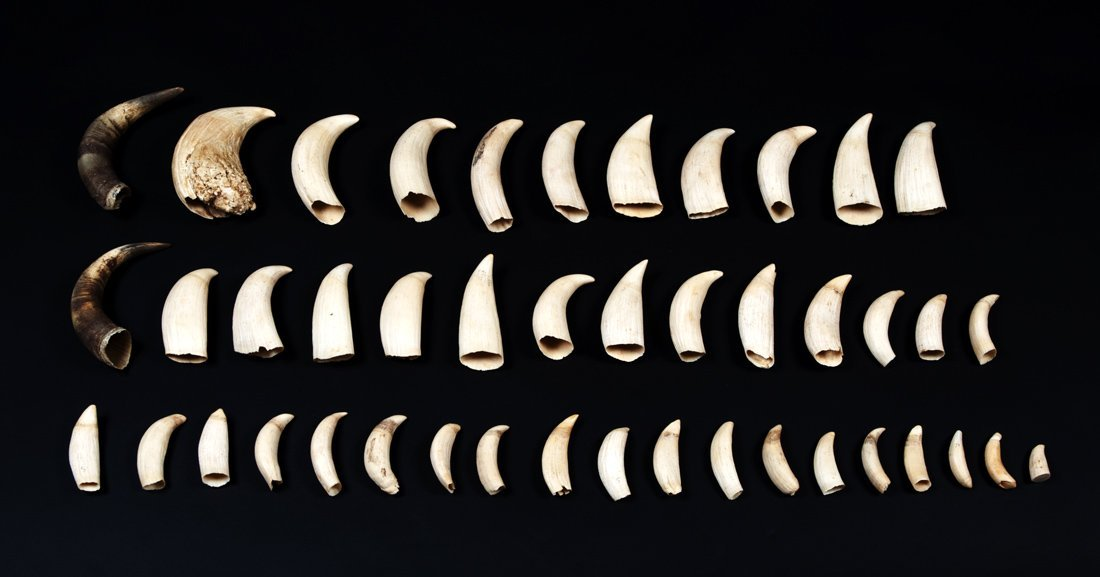 WHALES TEETH: Collection of 42 teeth ranging in size