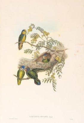 John Gould (british 1804-1881)nasiterna Bruijnii,