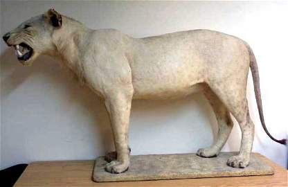 400: Taxidermy study of a extremley fine quality full m