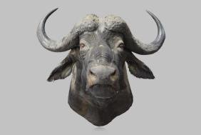 """Water Buffalo Mount 37""""H,   44""""(from wall),"""