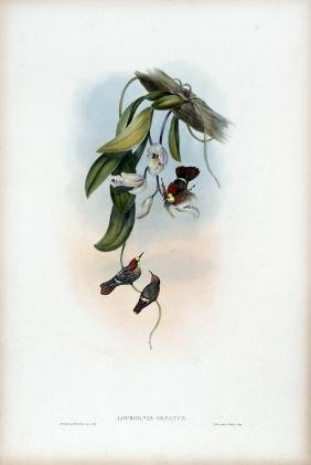 Lophornis Ornatus by J. Gould