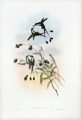 Spathura Peruana by J. Gould