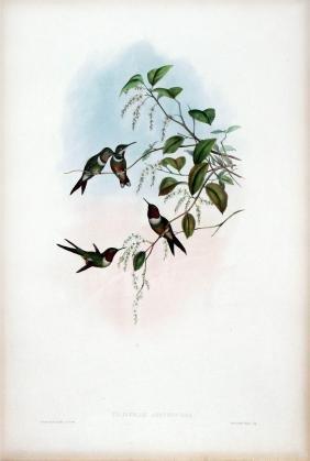 Calliphlox Amethystina by J. Gould