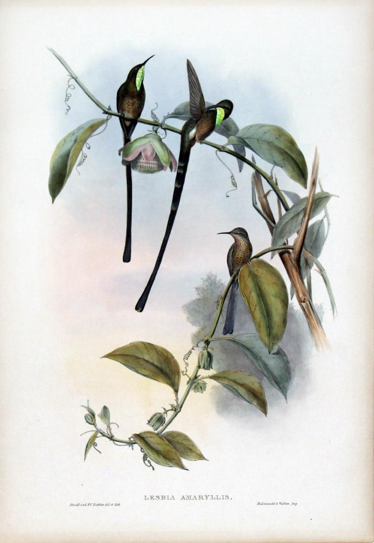 Lesbia Amaryllis by J. Gould