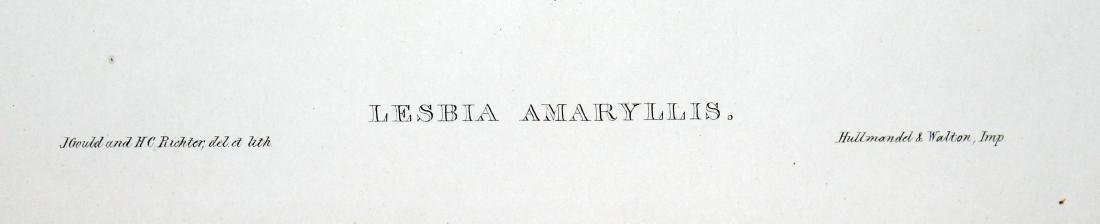 Lesbia Amaryllis by J. Gould - 2