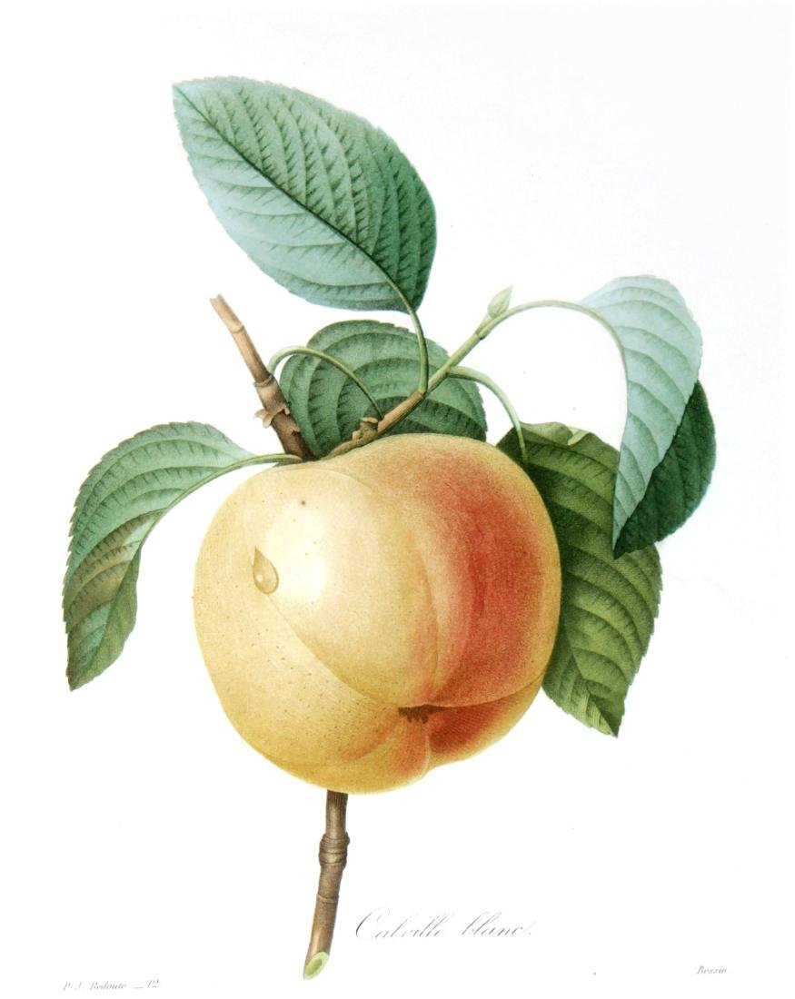 Pierre Joseph Redoute - White Apple